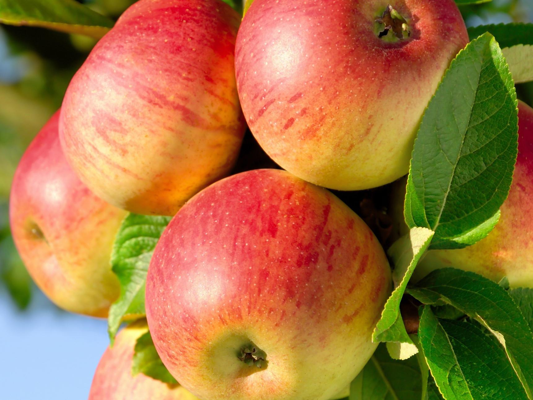 тут, яблоня яблочный спас описание фото отзывы нашем магазине